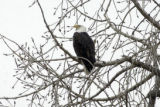 (LONGMONT, Colo., February 7, 2005)  A bald eagle sits in a tree at the St. Vrain State Park on...