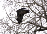 (LONGMONT, Colo., February 7, 2005)  A bald eagle leaves a tree at the St. Vrain State Park on...