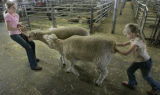 Nicole Vining, 13, of Cheyenne, Wyo., pulls on two of the families 15 sheep as her 8-yr-old,...
