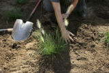 Volunteer Coordinator for the Aurora Water Department Abby Schreiber (cq) plants xeric plants in...