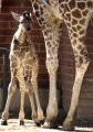 Denver, Colo.-March 10,2005-   The Denver Zoo's newborn giraffe,Dudley (cq Dudley) made his media...