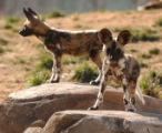 (DENVER Colo., February 24, 2005) Two of the seven   African wild dog puppies check out their new...