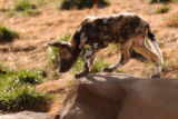 (DENVER Colo., February 24, 2005) One of the seven   African wild dog puppies checks out its new...