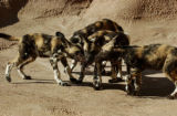 (DENVER Colo., February 24, 2005) Some of the seven   African wild dog puppies play in their new...