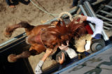 (Jefferson County, CO., June 22, 2004) Chip Lander, Kiowa, Colo., tries to control a bucking horse...
