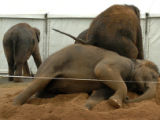 (DENVER, COLO., OCTOBER 6, 2004) -   Adolescent elephants from the Barnum & Bailey Circus...