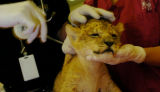 (10/14/04, Denver, CO)  The three 6-week-old lion cubs (born Sept. 2nd) at the Denver Zoo got...