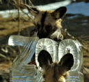 Two African Wild Dogs retrieve meat from an Ice Sculpture Wednesday morning December 21, 2005 at...