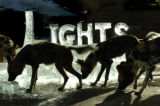 African Wild Dogs retrieve meat from an Ice Sculpture Wednesday morning December 21, 2005 at the...