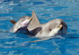 A dolphin calf swims alongside its mother at SeaWorld San Diego.  The dolphin was born on Oct. 6,...