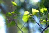 Aspen leaves flutter in the breezes in a high meadown in the San Juan Mountain range of south...