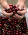 The hands of Thomas Cameron (cq) of Palisade measure a pound of cherries at Denver's new weekly...