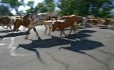 Texas Longhorns parade down 10th Ave. during The Greeley Stampede Independence Day parade Tuesday...