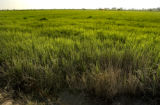 Battambang, Cambodia.  November 9, 2003.   A quiet field of rice along the main road outside of...