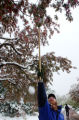 (DENVER, Colo., April 23, 2004)  Mike Bone, knocks snow off tree limbs at the Denver Botanical...