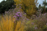 For DIG -- Rob Proctor photo. Wild aster (light purple in the foreground) in the Fall with native...