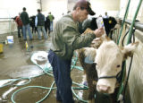 Denver, CO Jan. 18, 2006 Steve McIntyre of Lakewood shampoos a Miniature Hereford in the Hall of...