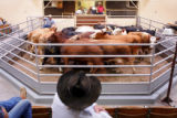 John Campbell, cq, right, in red, oversees one of the weekly livestock auctions at Winter...