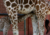 Mystic, a new baby giraffe, nurses with her mother Janie at the Denver Zoo Thursday morning July...