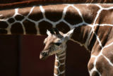 Mystic, a new baby giraffe, joined the rest of her family on exhibit at the Denver Zoo Thursday...
