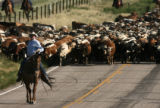 Tom Hirsig(cq), of Cheyenne, helps leads the drive of more than 650 Corriente long horned steers...