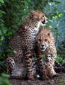 (06/30/2004, Denver, CO.)  Two Cheetahs were released today at the Denver Zoo at 9:30 am.  They...