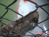 Pitbulls belonging to Michael Padilla that are to be euthanized by Denver Animal Control. (MICHAEL...