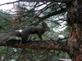 An Abert's squirrel (Sciurus aberti ) in a ponderosa pine tree, its major food source.  Photo...