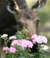 A moose makes quick work of Mark and Barb Dieterle's roses in the backyard of their house in...