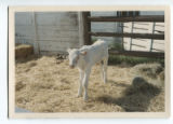 Calf on the Belmar farm