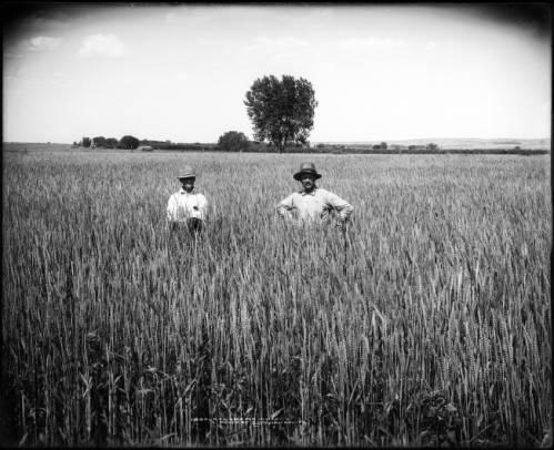 Colorado wheat